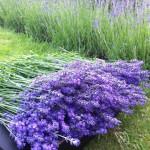 Řez kvetoucí levandule