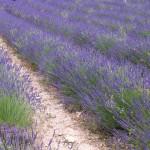 Levandulové pole ve Francii